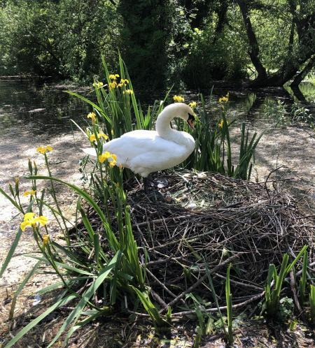A family of swans was targeted