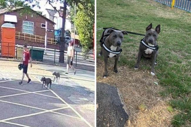 Two Blue Staffordshire dogs were stolen from their garden in Bexleyheath in July, but after being returned, one of the puppies has suffered from heart failure.