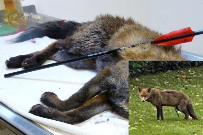 Three foxes have been shot with crossbows in the Greenwich area. Photo - The Fox Project