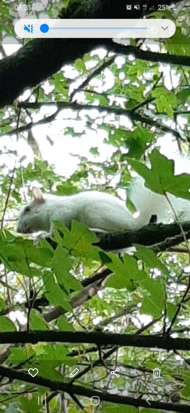 News Shopper: John Swinfield sent us this picture of what appears to be a white squirrel in Bromley