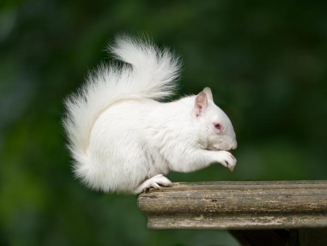 An incredibly rare albino squirrel was spotted in London this week