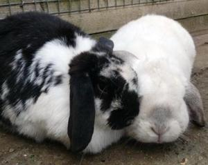 Lop-eared rabbits Ollie and Brielle