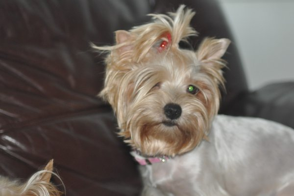 News Shopper: MediumYorkshire terrier Ema, silver, missing from Kidbrooke Lane since Feb 16, black mark on lower back