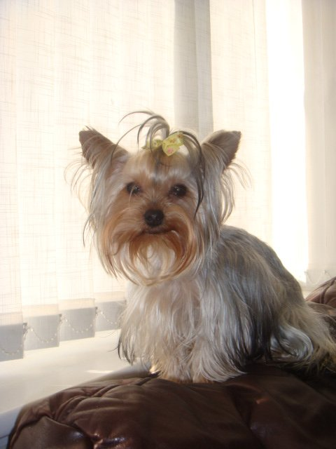 Teacup Yorkshire terrier Roxy, dark silver, missing from Kidbrooke Lane since Feb 16, bump on back of neck