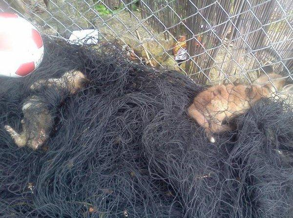Fox cubs die after being snared in football netting in a Catford garden
