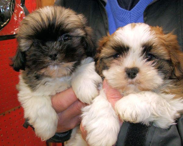 The two Shih Tzu puppies taken from Belvedere Pets and Flowers