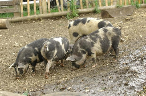News Shopper: Pig named Bacon wards off animal sanctuary crooks in Knockholt