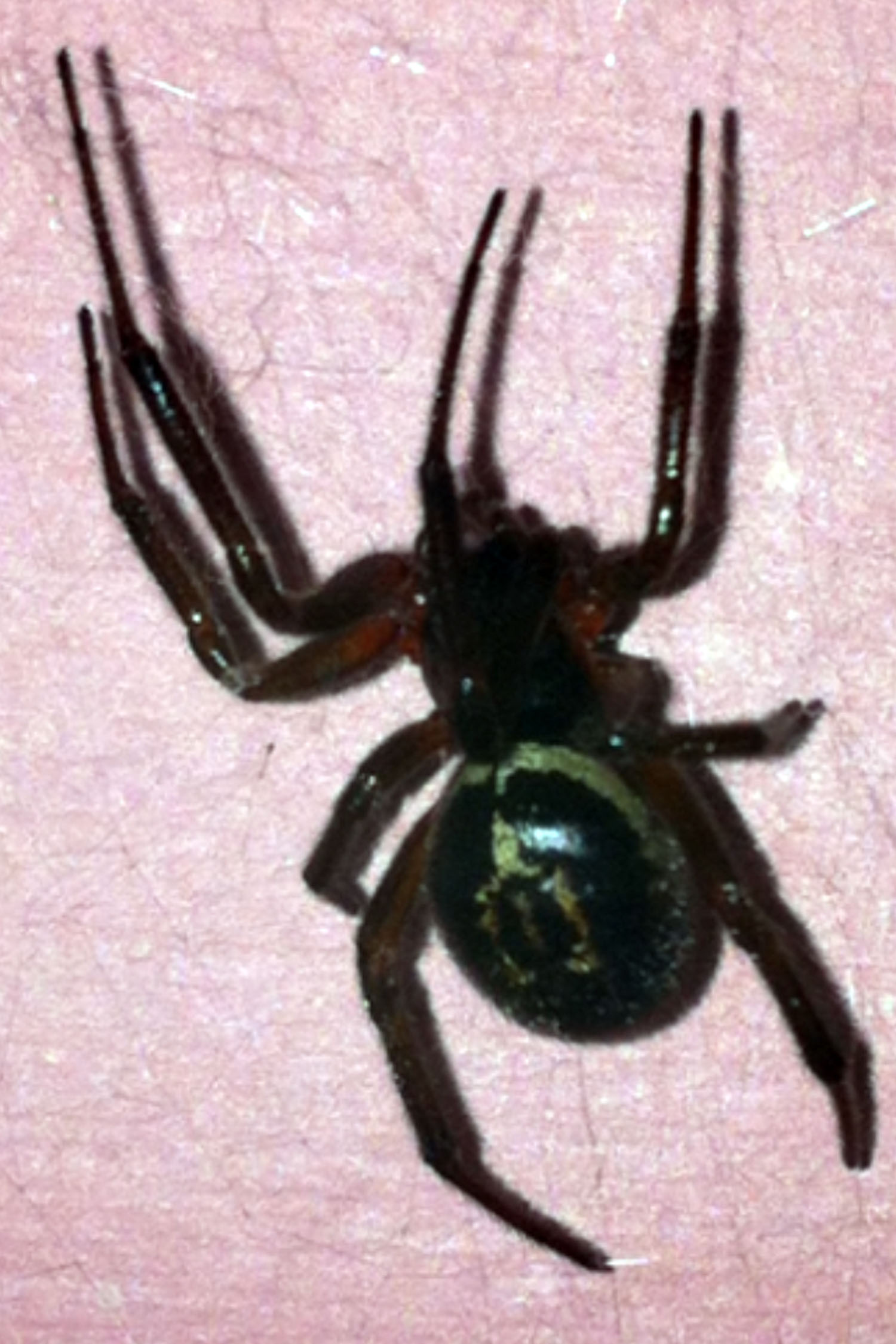 Blackfen tattooist bitten by deadly false widow spider