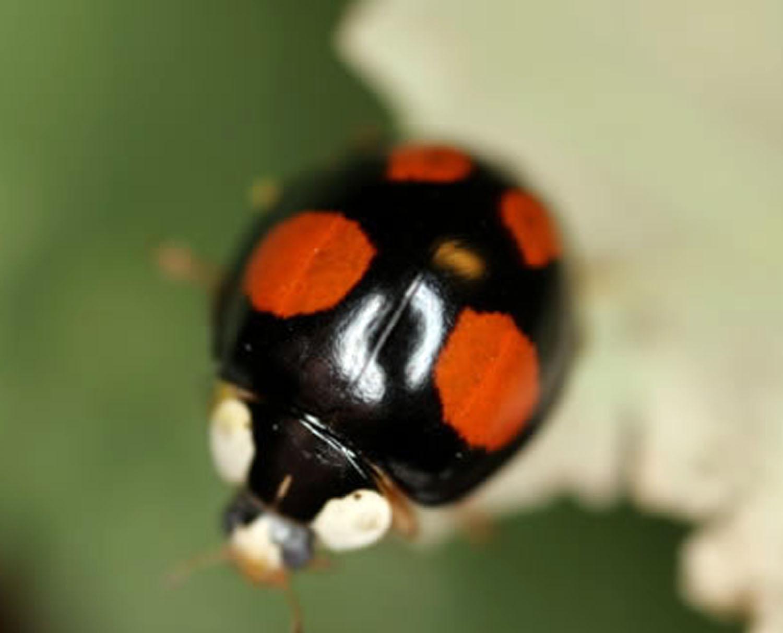 Poisonous Ladybirds Living In News Shopper Area Will Bite Humans News Shopper