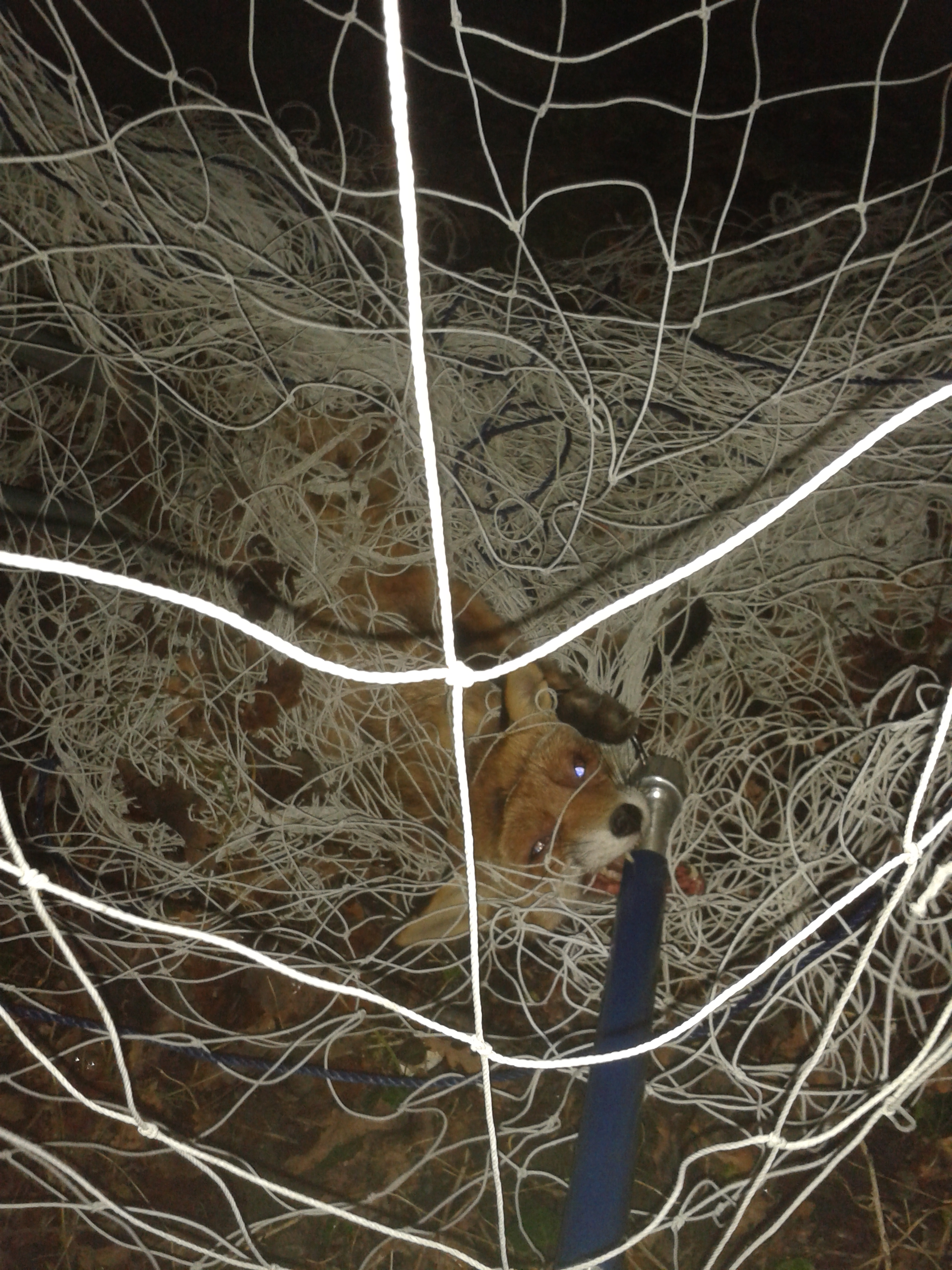 Fox put down after getting tangled in Swanley school's netting