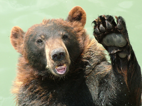 News Shopper: Bear waving