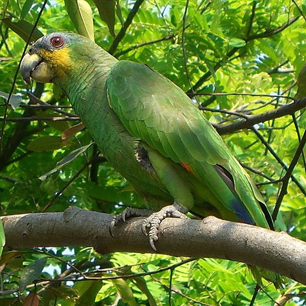 Do you know this parrot? Escaped amazonian bird ruffles feathers in Dartford
