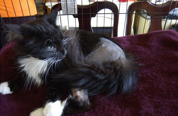 News Shopper: Dusty the cat was shot in the leg in Downham on Friday