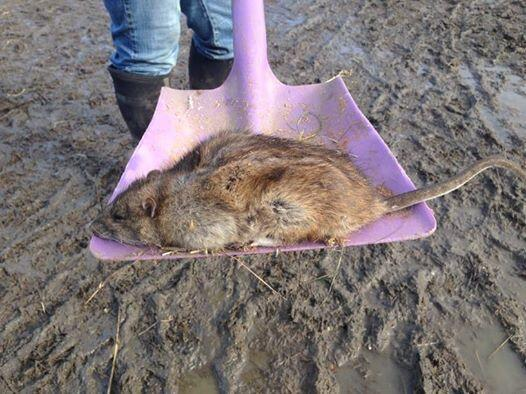 News Shopper: PICTURED: Giant rat reported in Gravesend