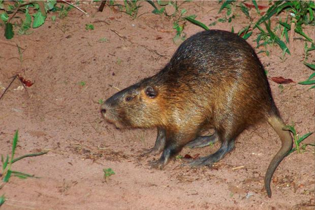News Shopper: Coypu photo: José Reynaldo da Fonseca