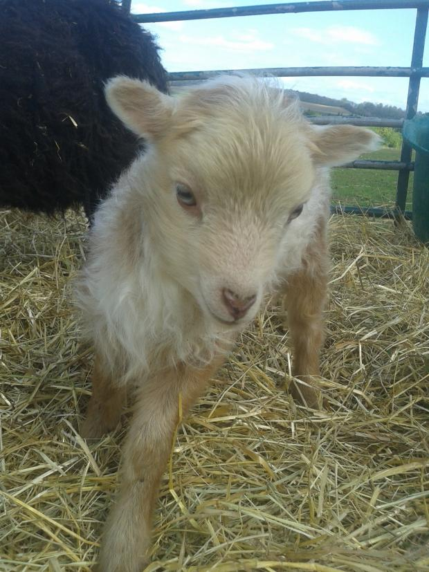 News Shopper: PICTURED: The world's smallest sheep born in Dartford