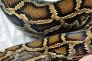 A python - similar to the snake found in Beckenham