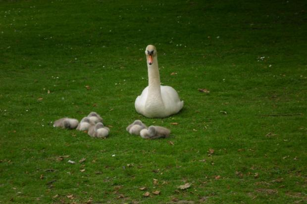 News Shopper: Mother swan and her babies.  Kelsey Park Saturday 17 May
