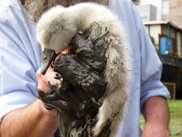 News Shopper: PICTURED: First baby swans born in urban Deptford Creek in four years