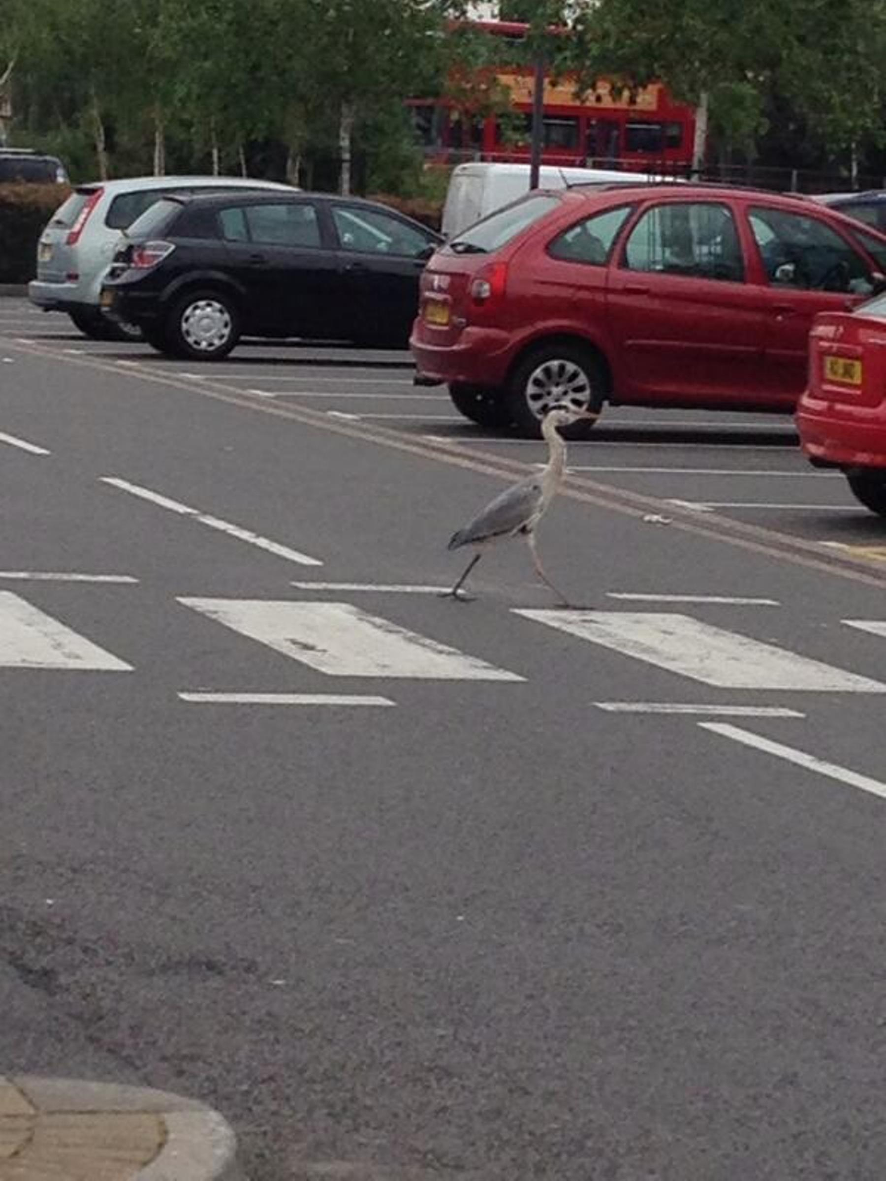 Large bird spotted using zebra crossing in Thamesmead