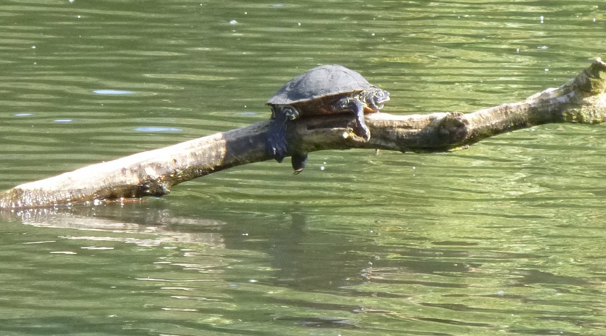 UPDATE: 'Creature' seen in Chislehurst pond may be an abandoned terrapin