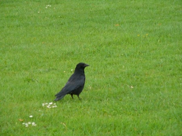 News Shopper: Crow attack terror returns to Eltham after jogger savaged by bird