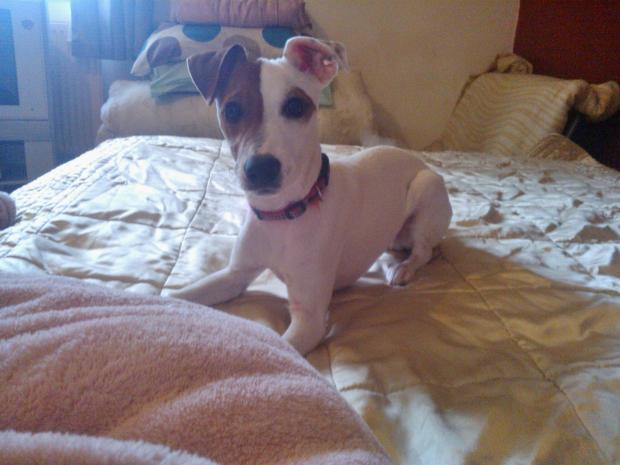 Smudge the Jack Russell terrier is our Pet of the Day