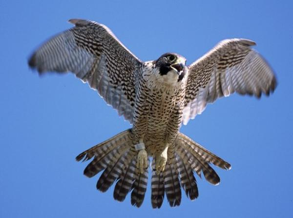 Pair of peregrine falcons set up home at Greenwich clocktower