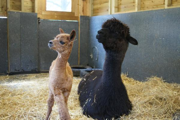 PICTURED: Horniman welcomes baby alpaca