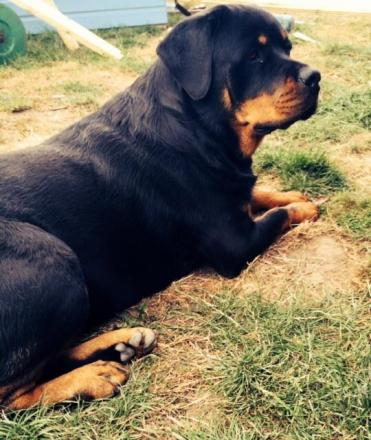 Molly the Rottweiler is Pet of the Day
