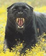 Jim Hornby may have seen a panther