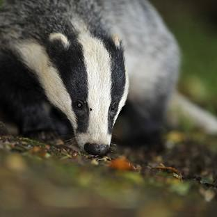The Badger Trust sought a court ruling to block a new cull in Gloucestershire and Somerse