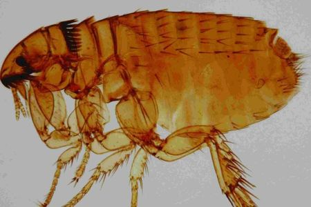 The flea has a penis which is two-and-a-half times the length of its body