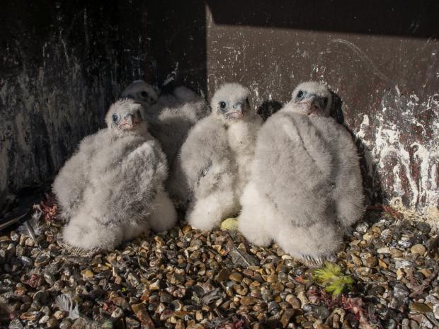 Falcon Breeding...