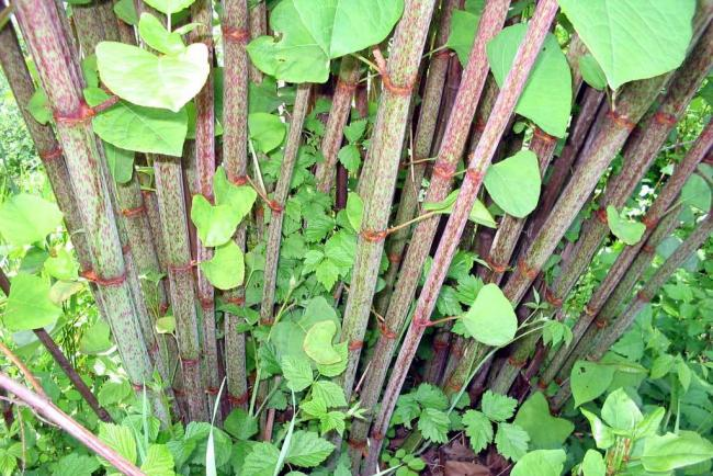 Japanese Knotweed: the plant that can smash concrete, damage houses and survive burning