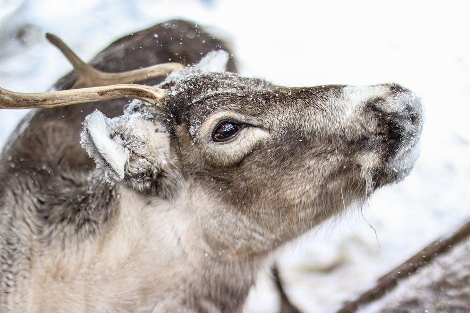Reindeer Gets Sick At Polhill Garden Centre Christmas Grotto Event News Shopper