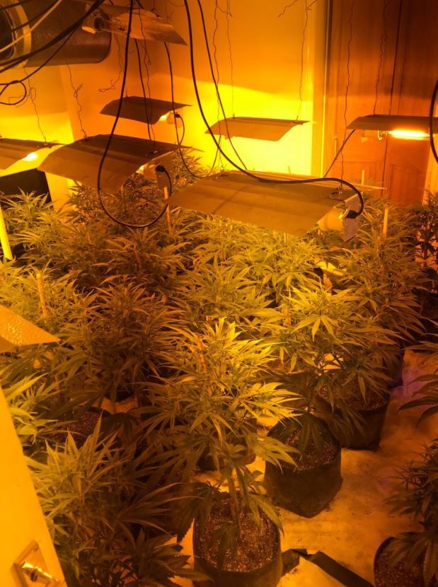 300 cannabis plants seized in Shortlands, Bromley