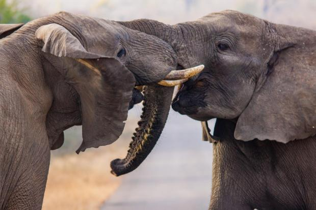 News Shopper: African elephants fighting. Photo: Greg Gillies