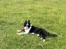 border Collie Jess Cole