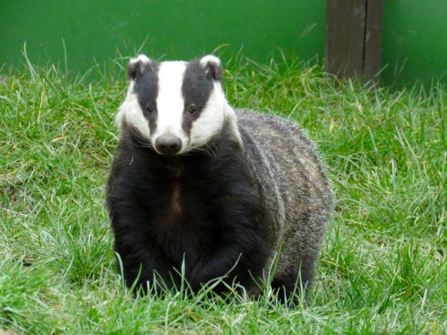 And against badgers being under threat of a cull. Photo: Donna Zimmer