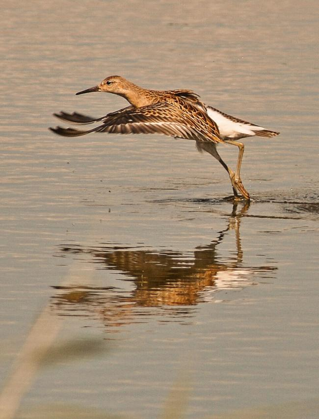The ruff landing photographed by Tony Dunstan