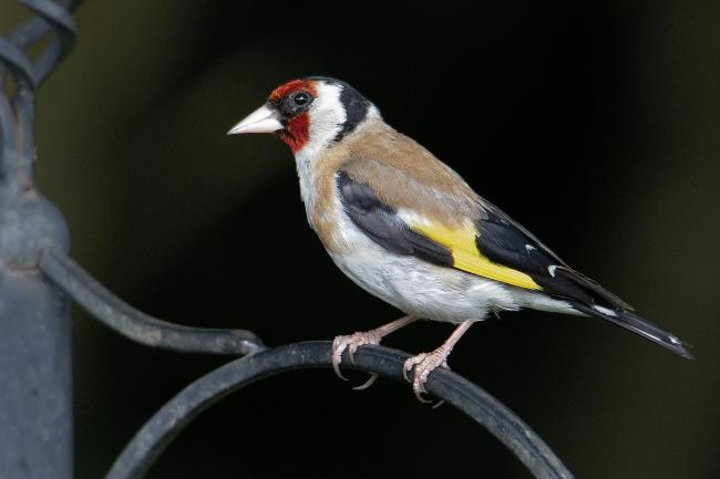 Goldfinches have become firmly established as garden regulars