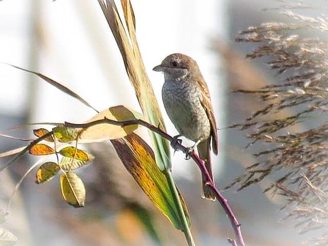 Red-backed shrike by Donna Zimmer