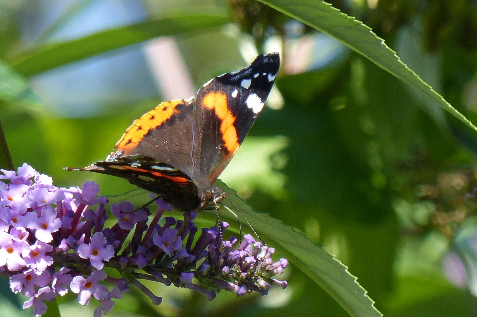 Red admiral butterfly. Photo by Jim Butler