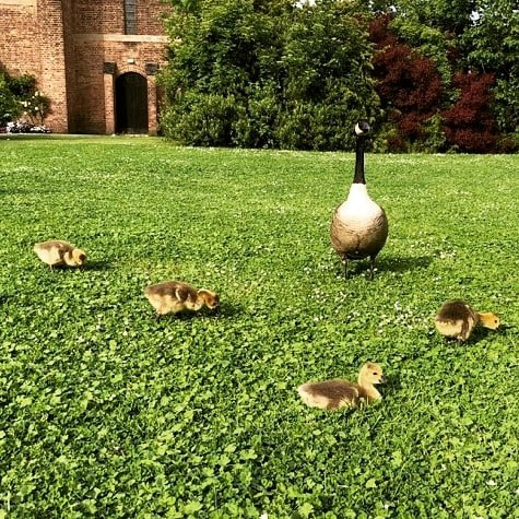 Drivers urged to slow down to protect goslings