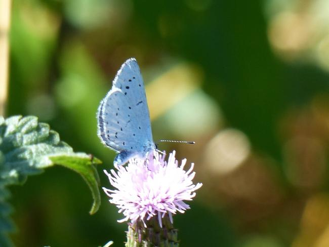 Holly Blue by Jim Butler